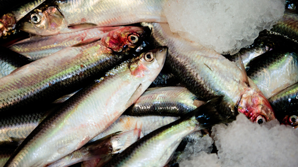 Mindre silde-fiskeri i færøsk farvand | Sermitsiaq.AG