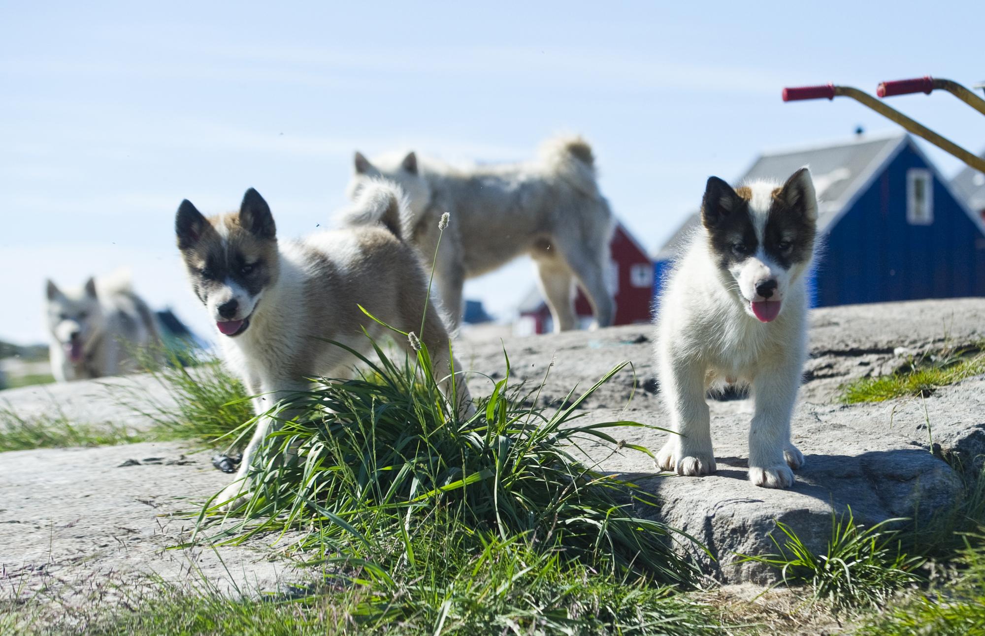 Hundene skal registreres | Sermitsiaq.AG