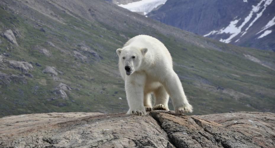 Nanoq, Isbjørn, sommeren 2014, Aappilattoq