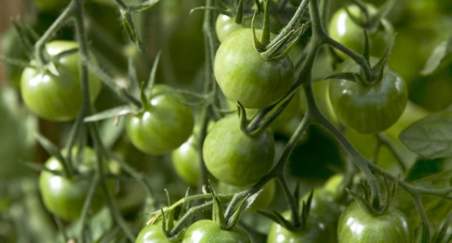 Tomater i Narsaq