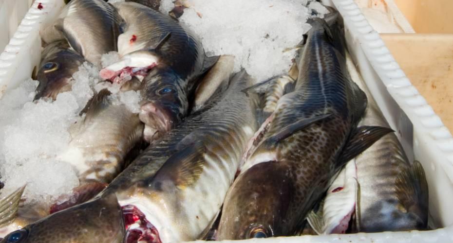 Torsk, fiskekasse